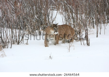 Mountain Lion Staking Prey in Thickets - stock photo
