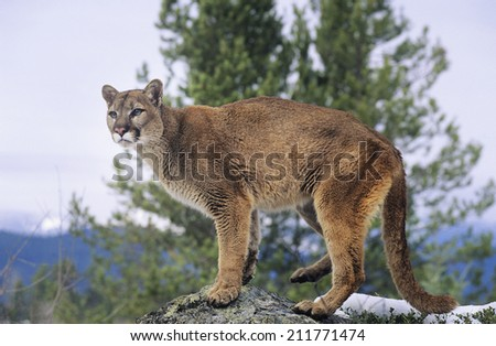 Mountain Lion standing on rock - stock photo