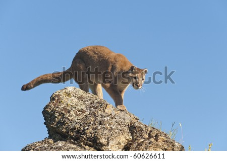 Mountain lion surrounded by spring flowers on mountain hillside. - stock photo