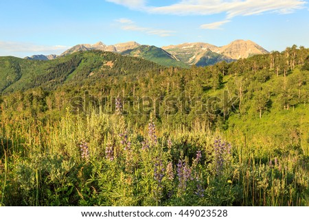 Mountain morning landscape with lupine wildflowers, Utah, USA. - stock photo