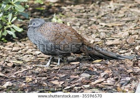 Mountain Peacock-Pheasant - stock photo