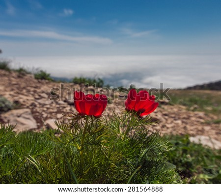 Mountain peony - stock photo