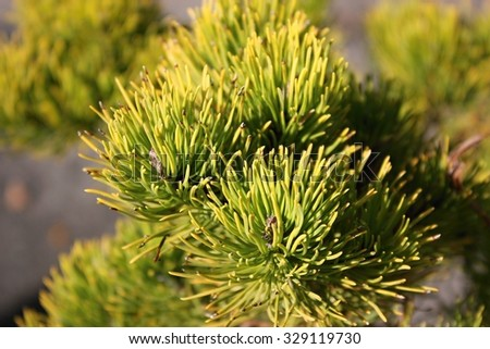 Mountain pine, dwarf mountain pine, scrub mountain pine, Swiss mountain pine, mugo pine or creeping pine (Pinus mugo)