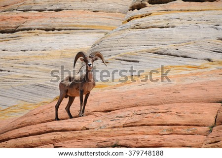 Mountain sheep standing on a red rock. National park Zion. Arizona. USA  - stock photo