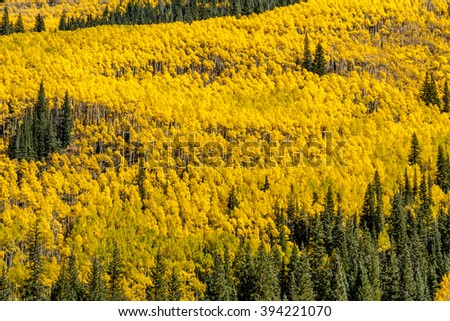 Mountain side filled with fall color of changing yellow Aspen trees and pine trees on sunny autumn afternoon - stock photo