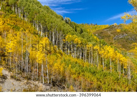 Mountain side filled with fall color of changing yellow Aspen trees and pine trees on sunny autumn morning with blue sky - stock photo