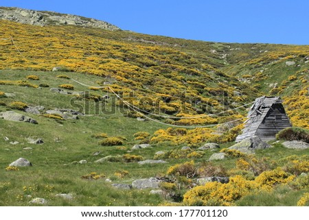 mountain slopes with blooming common broom - stock photo