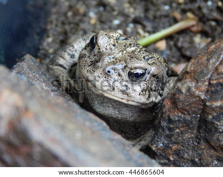 Mountain Toad
