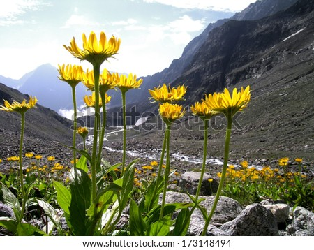 mountain view in the alps/ Arnica montana           - stock photo