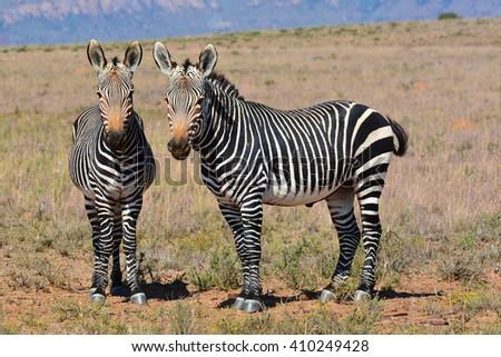 Mountain Zebra - stock photo