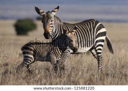 Mountain zebra mother and foal, Mountain Zebra National Park, South Africa - stock photo
