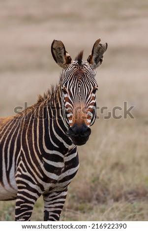 mountain zebra standing in the grassland and savannah front view.