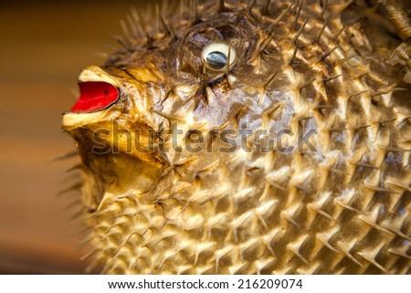 Mounted Puffer Fish - stock photo