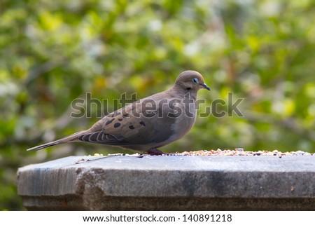 Mourning Dove - stock photo