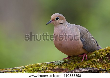 Mourning Dove, a.k.a. Turtle Dove, perched on moss covered log, taken by a bird feeder in suburban Philadelphia, Pennsylvania, USA - stock photo