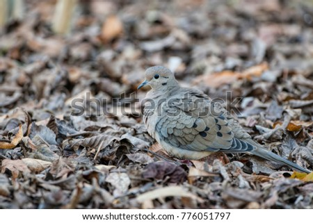 I beak doves leaf stock images royalty free images vectors mourning dove camouflaged in winter leaves on ground pronofoot35fo Image collections