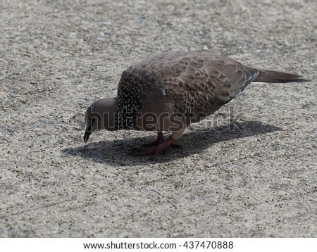 mourning dove foraging on street under sunlight in the city.