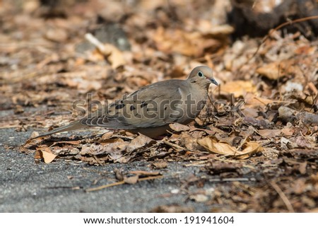 Mourning Dove in leaf litter - stock photo