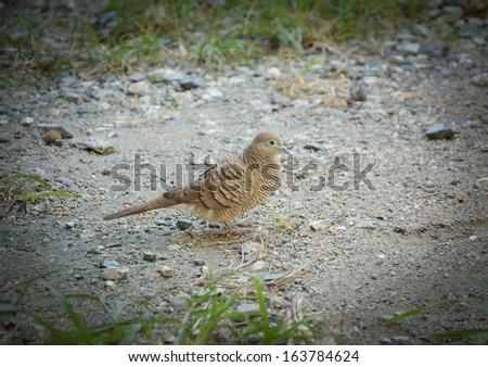 Mourning dove walk  on ground - stock photo