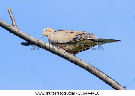 Mourning Dove, Zenaida macroura - stock photo