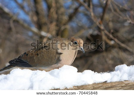 Mourning Dove Zenaida macroura - stock photo