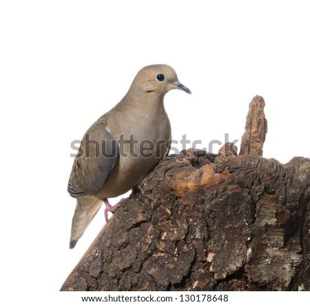 Mourning Dove (zenaida macroura)  on a stump on a white background - stock photo