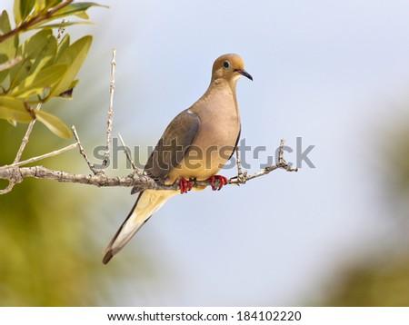 Mourning Dove (Zenaida macroura) perching on an old branch - stock photo