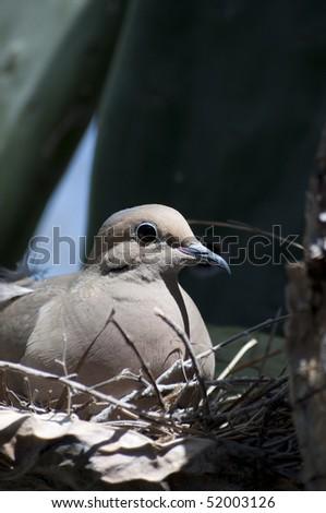 Mourning Dove, Zenaida macroura, tending eggs in a prickly pear cactus in Tucson Arizona - stock photo