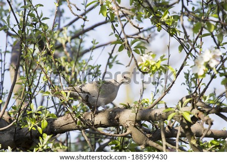 Mourning Doves (Zenaida macroura) on apple tree branch with flowers - stock photo