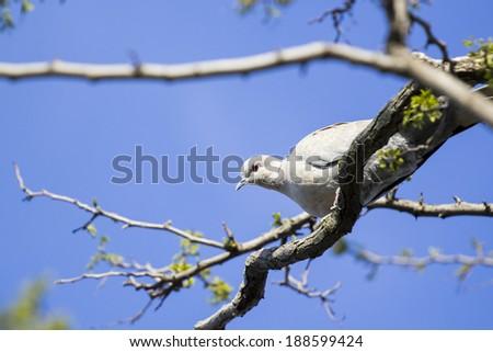 Mourning Doves (Zenaida macroura) on locust tree branch  - stock photo