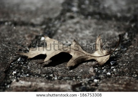 Mourning nature : oak leaf, desaturated color - stock photo