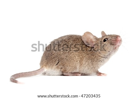 mouse close up isolated on white - grey mouse - stock photo
