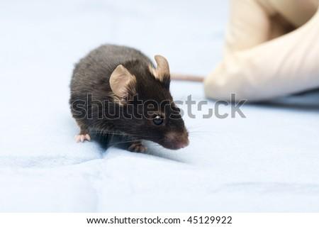 Mouse in laboratory. Scientific experiment - stock photo