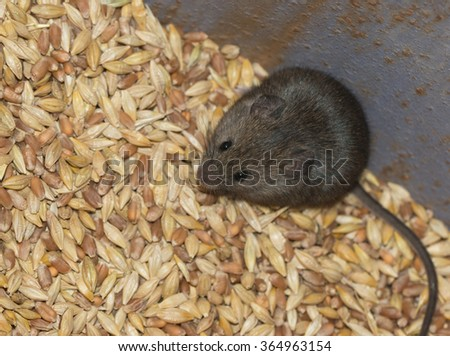 Mouse in the grain - stock photo
