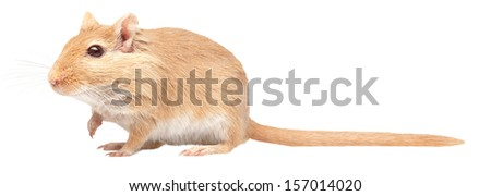 mouse is isolated on a white background. Gerbillinae  - stock photo