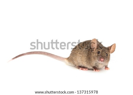 Mouse isolated on white, cute mouse looking into camera - stock photo