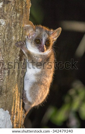 Mouse lemur sitting on a tree at night. Close-up. Madagascar. An excellent illustration. - stock photo