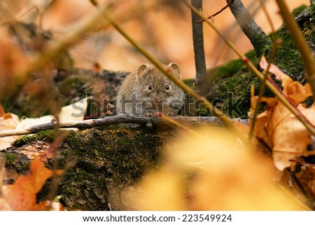 Mouse Microtus vole in the forest - stock photo