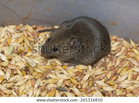 mouse on the background of grains - stock photo