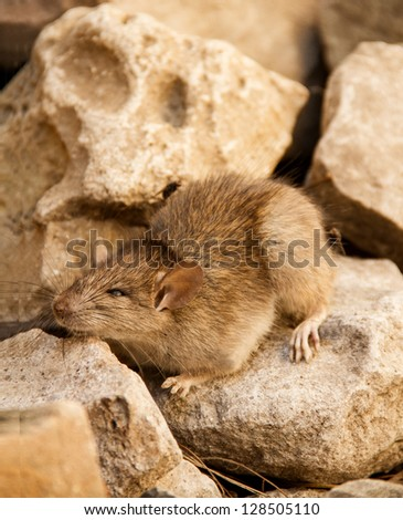 Mouse On The Stones - stock photo