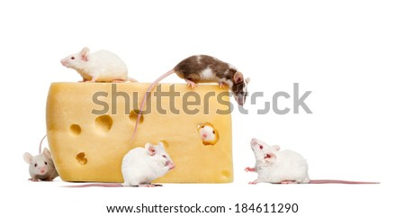 mouse on top of a big piece of cheese, looking down at a group of mice - stock photo