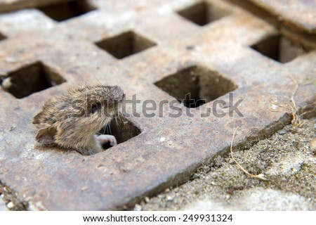 mouse peeking out of the canal - stock photo