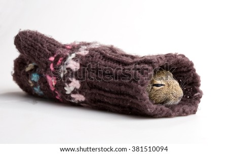 mouse sleeping in knitted mitten isolated on white - stock photo