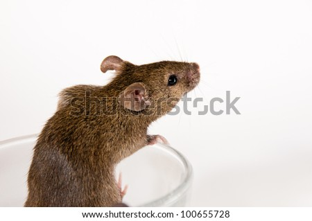 Mouse trying to escape out of a glass  on a white background - stock photo
