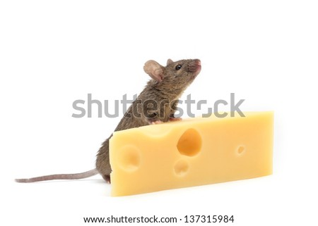 Mouse with a slice of swiss cheese isolated on white - stock photo