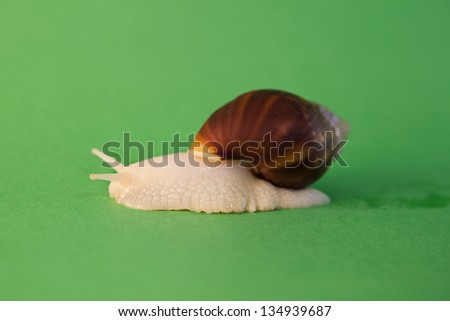 Moving big snail
