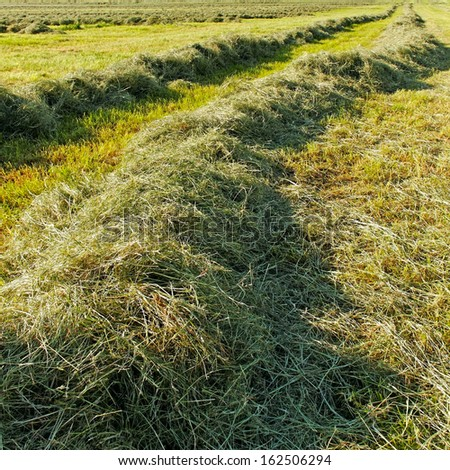 Mowed hay on the field. - stock photo