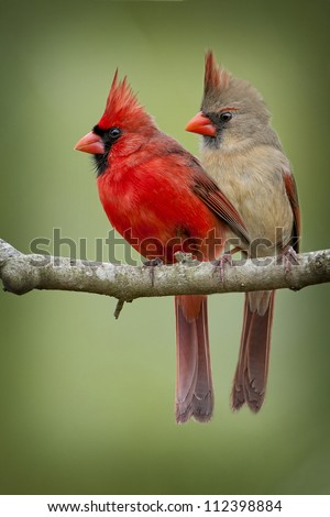 Mr. and Mrs. Cardinal on a Branch - stock photo
