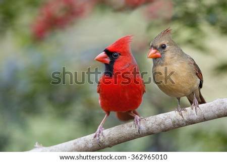 Mr. and Mrs. Northern Cardinal Side by Side - stock photo