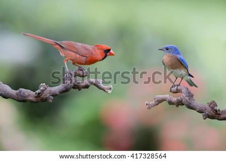Mr. Redbird Meets Mr. Bluebird - stock photo